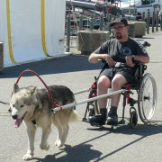 chien de traineau handicap